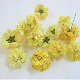 ドライフラワー 八重コデマリ 黄色 /ハーバリウム 花材 レジン