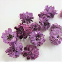 ドライフラワー 八重コデマリ 赤紫色 /ハーバリウム 花材 レジン