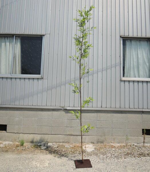 人工竹 大型サイズ 黒竹 バンブーツリー2.7m(造花 インテリア 観葉植物 コンパネベース H270cm)