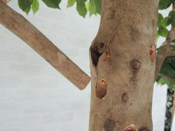 大型サイズのベンジャミン立ち木高さ260cm組み立て式(人工観葉植物造花樹木造木)
