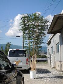 大型サイズの人工観葉植物 トネリコ 高さ400cm5本株立(インテリア 造花 樹木 造木 フェイクグリーン 室内向け)