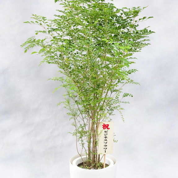産直!シマトネリコ 10号※白丸鉢カバー付【送料無料】