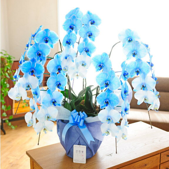 開店祝いや移転祝いなどのお祝い花に!非常に珍しい胡蝶蘭5本立(青) 4万円コース※全国送料無料