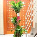 当日配送 植物!観葉植物 ドラセナ・マッサンゲアナ(幸福の木) 10号※バスケット鉢カバー付