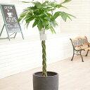 観葉植物 パキラ 10号 インテリア鉢カバー「ラグジュアリーブラックエッグ」仕様【高級感溢れる立札&花言葉カード…