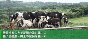 種子島の牛たち