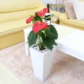 【送料無料】アンスリウム(アンスリューム)「レッド」 7号 ホワイト陶器鉢 ストレート 高さ 約60〜70cm