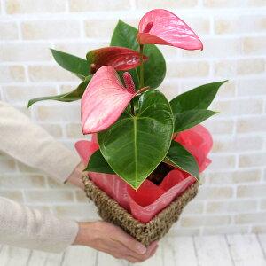 【遅れてゴメンネ!】【母の日】空気を浄化するといわれているアンスリウム(アンスリューム) ピンク バスケット鉢カバー