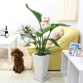 ストレリチア(ストレチア)・オーガスタ 7号 ホワイトスクエア陶器鉢 Gタイプ|中型サイズの観葉植物