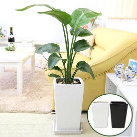 ストレリチア(ストレチア)・オーガスタ 7号 選べるスクエア陶器鉢 ストレート|中型サイズの観葉植物