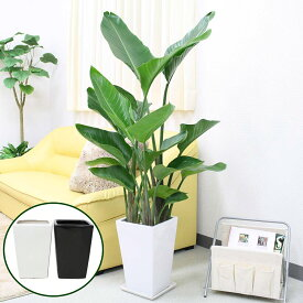 ストレリチア(ストレチア)・オーガスタ 8号 「3株植え」 選べるスクエア陶器鉢 ストレート|大型サイズの観葉植物