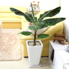 バナナの木 8号 ホワイトスクエア陶器鉢 Gタイプ