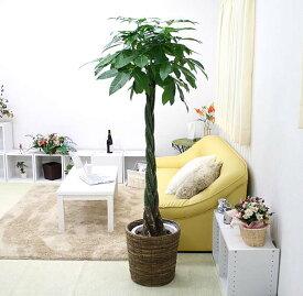 【送料無料】パキラ 10号+ブラウンバスケット鉢カバー(高さ 約1.5〜1.8m)