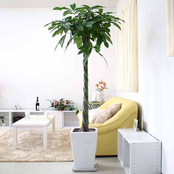 【送料無料】人気のパキラ 10号+選べるスクエアロング陶器鉢|大型サイズの観葉植物