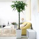 【送料無料】人気のパキラ 10号+選べるスクエアロング陶器鉢 大型サイズの観葉植物
