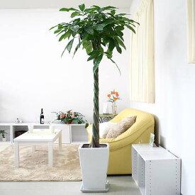 パキラ 10号+選べるスクエアロング陶器鉢|人気の観葉植物