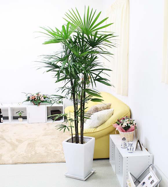 【送料無料】スタイリッシュ!シュロ竹(シュロチク) 10号+ホワイトロング陶器鉢(スクエア形) 大型サイズの観葉植物
