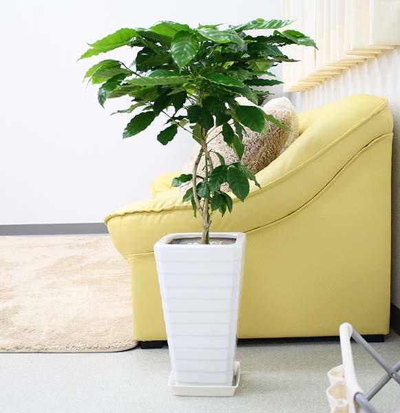 【送料無料】コーヒーの木 7号+選べるスクエアロング陶器鉢 Gタイプ|中型サイズの観葉植物