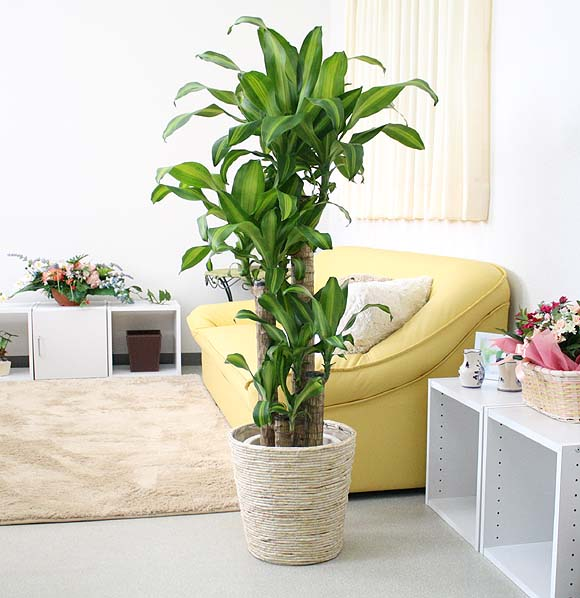 【送料無料】幸福の木(朴タイプ) 8号鉢+ホワイトバスケット鉢カバー