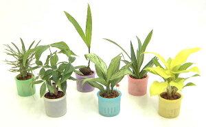 ミニ観葉植物(スケルトン鉢) 6鉢セット「ハイドロカルチャー」