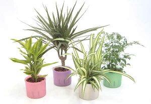 ★スモールサイズの観葉植物(プラスチック鉢) 2鉢セット 「ハイドロカルチャー」