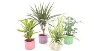 ★スモールサイズの観葉植物(プラスチック鉢) 3鉢セット 「ハイドロカルチャー」