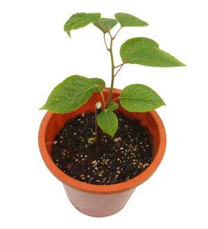 Actinidia polygama (NIP) trees 2 pot set + Bowl dish
