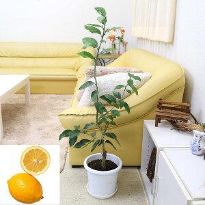 レモンの木「品種 マイヤーレモン(メイヤーレモン)」 7号+鉢皿付き|現在、花が咲いた後の株を出荷可能です!