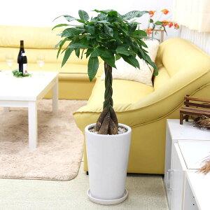 パキラ 8号 ホワイト陶器鉢 丸形|大型サイズの観葉植物
