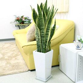 空気を浄化するといわれているサンスベリアのホワイト陶器鉢 7号 ストレート+陶器製 お皿付き|中型サイズの観葉植物