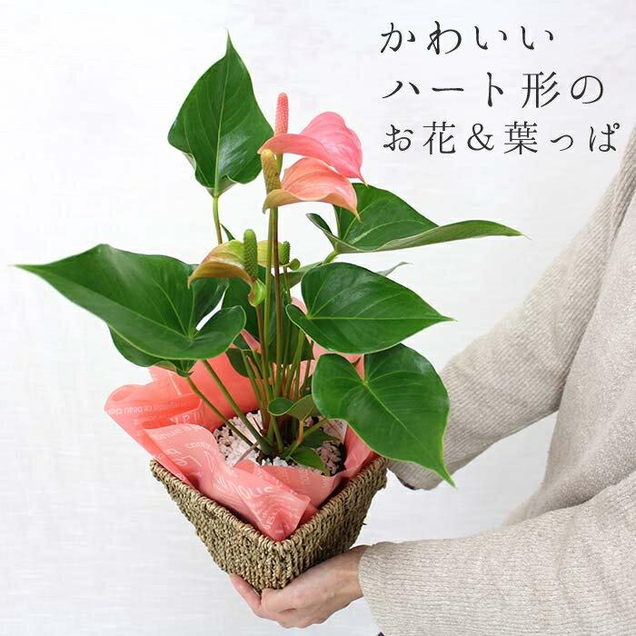 母の日 【送料無料】アンスリウム(アンスリューム) ピンク バスケット鉢カバー