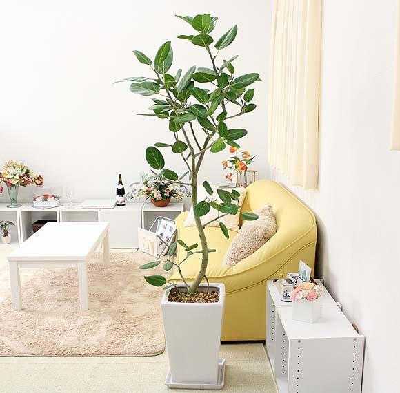 【送料無料】珍しい♪フィカス ベンガレンシス 10号 スクエアホワイト陶器鉢|大型サイズの観葉植物