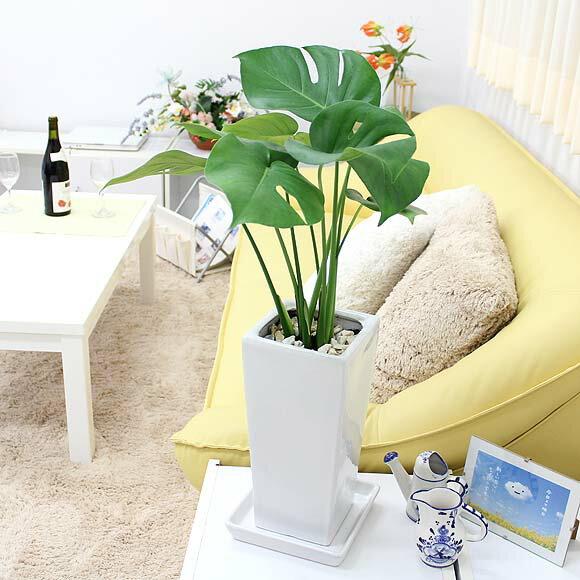 【送料無料】モンステラ 6号 選べる陶器鉢「ストレート」|小型サイズの観葉植物