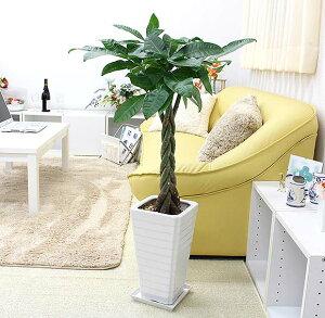 スタイリッシュ!人気のパキラ 7号+ホワイト陶器鉢 Gタイプ|中型サイズの観葉植物
