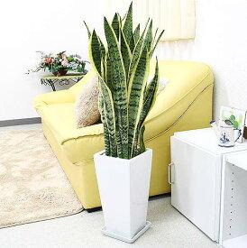【送料無料】空気を浄化するといわれているサンスベリアのホワイト陶器鉢 7号 ストレート|中型サイズの観葉植物