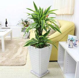 ドラセナ デレメンシス レモンライムのホワイト陶器鉢 7号 Gタイプ +アイビー 寄せ植え