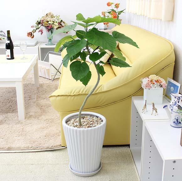 【送料無料】ウンベラータ 8号 ホワイト陶器鉢「丸形」まがり仕立て