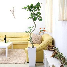 【送料無料】スパイラル仕立てのおしゃれなベンガレンシス 10号 選べる陶器鉢 Zタイプ 大型サイズの観葉植物