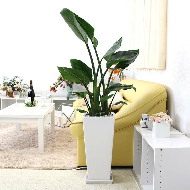 【送料無料】南国のやさしさ伝わるオーガスタ 9号+選べるスクエアロング陶器鉢 Zタイプ|大型サイズの観葉植物