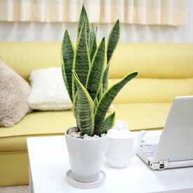【送料無料】空気を浄化するといわれているサンスベリア・ホワイト陶器鉢 丸ロング|小型サイズの観葉植物