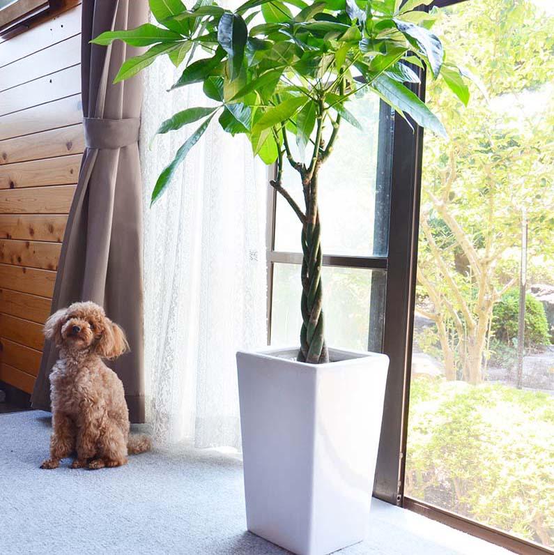 スタイリッシュ!人気のパキラ 8号+選べるスクエア陶器鉢「ストレート」|大型サイズの観葉植物