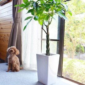 【送料無料】人気のパキラ 8号+選べるスクエア陶器鉢「ストレート」|大型サイズの観葉植物