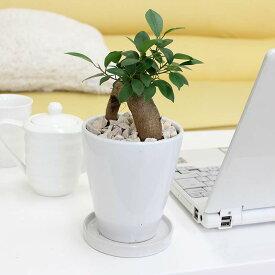 【送料無料】幸せを見守る樹 ガジュマル 5号 ホワイト陶器鉢 丸ロング|小型サイズの観葉植物