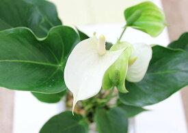 目玉商品 【送料無料】アンスリウム(アンスリューム) 「ホワイト」 6号 ホワイトスクエア陶器鉢