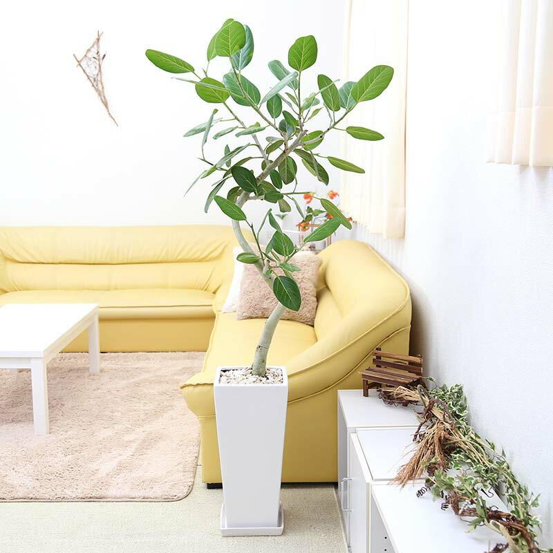 【送料無料】スパイラル仕立てのおしゃれなベンガレンシス 10号 選べる陶器鉢 Zタイプ
