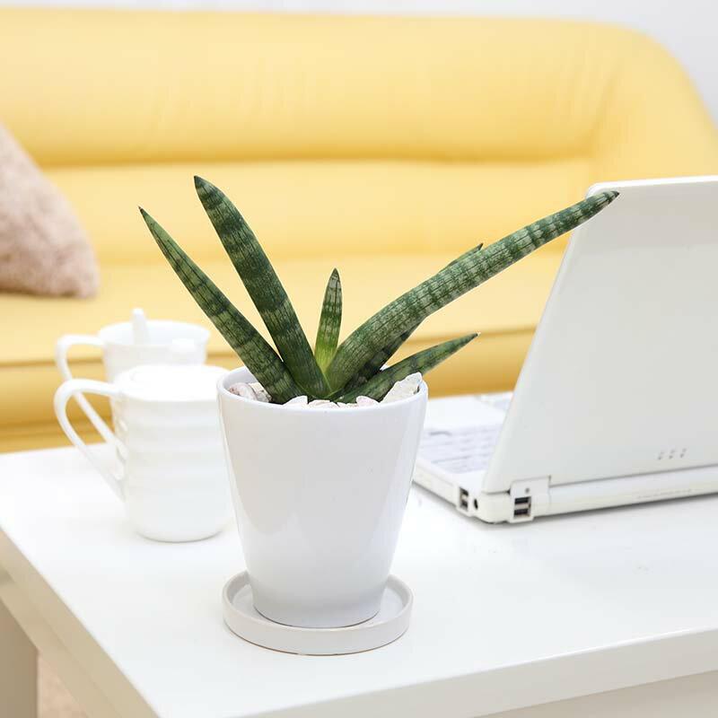珍しい!サンスベリア ボンセレンシス 4号 ホワイト陶器鉢