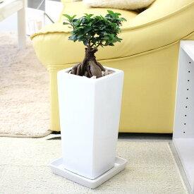 【送料無料】幸せを見守るの木!ガジュマル 6号 選べるスクエア陶器鉢「ストレート」
