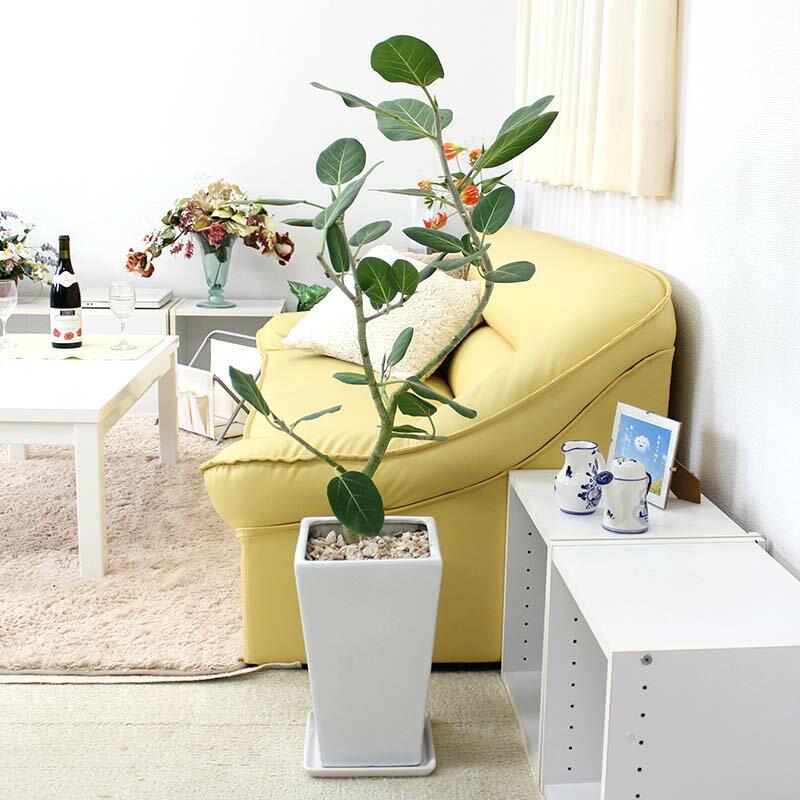 フィカス ベンガレンシス(ベルガルゴム)のホワイト陶器鉢 8号|中型サイズの観葉植物