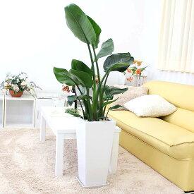 ストレリチア(ストレチア)・オーガスタ 9号+選べる陶器鉢 Zタイプ(高さ 約1〜1.2m)3株植え|大型サイズの観葉植物