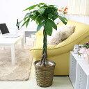 【送料無料】パキラ 7号鉢+バスケット鉢カバー|中型サイズの観葉植物